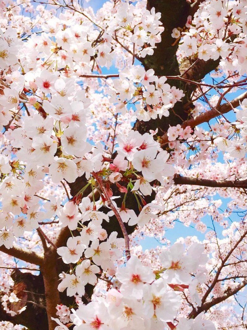 桜 卒業 感謝 関東